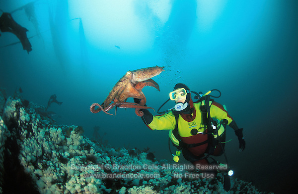 ma32. diver Melissa S. Cole (Model Released) and Pacific Giant Octopus (Enteroctopus dofleini)..Photo Copyright © Brandon Cole.  All rights reserved worldwide.  www.brandoncole.com..This photo is NOT free. It is NOT in the public domain...Rights to reproduction of photograph granted only upon payment of invoice in full.  Any use whatsoever prior to such payment will be considered an infringement of copyright...Brandon Cole.Marine Photography.http://www.brandoncole.com.email: brandoncole@msn.com.4917 N. Boeing Rd..Spokane Valley, WA  99206  USA..tel: 509-535-3489.