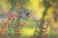 Racing around Red Standing Cypress, a hummingbird looks for the sweet stuff in this Texas wildflower image. Many of these hummingbird images come from our land in the Texas Hill Country. These little birds fight like crazy over the flowers, but are pretty easy to photograph after they become accustomed to you being there.