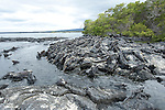 Marine iguanas lay on a rocky beach in the Galapagos Islands, Ecuador.