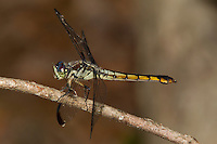 Great Blue Skimmer (Libellula vibrans) female Dragonfly, South Carolina, USA