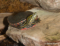 0216-1101  Western Painted Turtle Sunning on Rock, Chrysemys picta bellii  © David Kuhn/Dwight Kuhn Photography