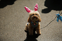A dog wears rabbit ears while people take part during the annual easter parade in Manhattan, New York, 03.27.2016. This annual tradition has been taking place in New York City for over 100 years, Photo by VIEWpress.