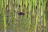 Coot (Fulica atra) Squab, exploring beyond the edges of the reeds. Squab is the term used for coot chicks. Whilst the parent is gathering food the squab is beginning to look for it's own, as its appetite grows with age. Still very young and very dependant on parents. Coots have also been known to kill their own young, usually the youngest of the brood if they have too many to feed successfully, Lancashire, UK