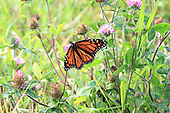 A monarch butterfly pollinating a clover flower in a fam field