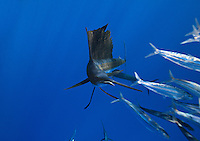 qh1115-D. Atlantic Sailfish (Istiophorus albicans) feeding on sardines. Some consider this the same species as the Indo-Pacific Sailfish (I. platypterus). Mexico, Gulf of Mexico..Photo Copyright © Brandon Cole. All rights reserved worldwide.  www.brandoncole.com..This photo is NOT free. It is NOT in the public domain. This photo is a Copyrighted Work, registered with the US Copyright Office. .Rights to reproduction of photograph granted only upon payment in full of agreed upon licensing fee. Any use of this photo prior to such payment is an infringement of copyright and punishable by fines up to  $150,000 USD...Brandon Cole.MARINE PHOTOGRAPHY.http://www.brandoncole.com.email: brandoncole@msn.com.4917 N. Boeing Rd..Spokane Valley, WA  99206  USA.tel: 509-535-3489