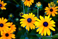 Browneyed Susan (Rudbeckia triloba) flowers in a garden.
