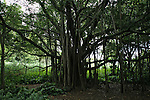 A wild banyon tree growing in Hana, Maui.