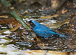 Masked flowerpiercer, Diglossopis cyanea, bathes in a shallow stream at Yanacocha Reserve, Ecuador