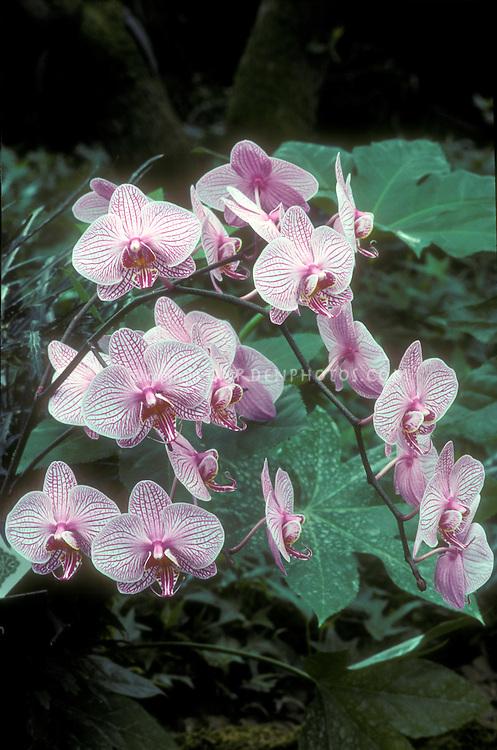 Phalaenopsis, striped Moth Orchid
