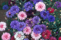 Cornflower Polka Dot Centaurea cyanus 'Polka Dot' mix. white, blue, rose and lavender colors. Easy to grow from seeds, great for kids. GR8704