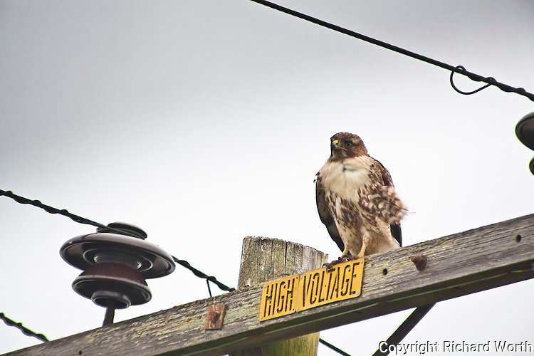 A Red-tailed hawk sits on a power line pole at Pigeon Point Lighthouse State Park.