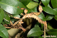 0105-0906  Australian Stick Insect, Extatosoma tiaratum  © David Kuhn/Dwight Kuhn Photography
