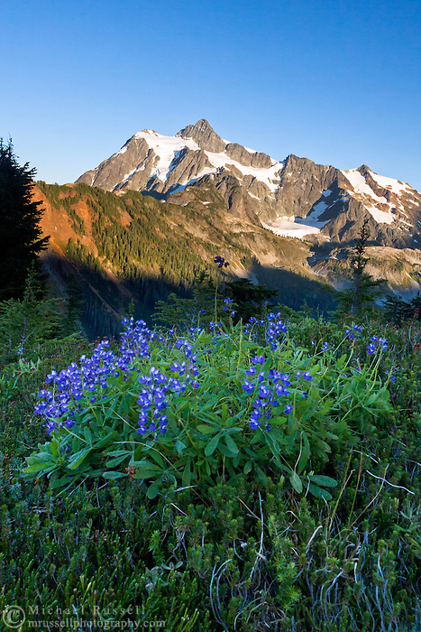 Arctic Lupines (Lupinus arcticus) on Kulshan Ridge with Mount Shuksan in the background - Mount Baker Wilderness, Washington State, USA.