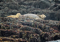 Two Harbor Seals lounging on Seal Rock in North Atlantic Ocean