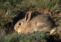673280016 a desert cottontail rabbit sylvilagus audubonii sits by the entrance to its den in the panhandle of northwest texas