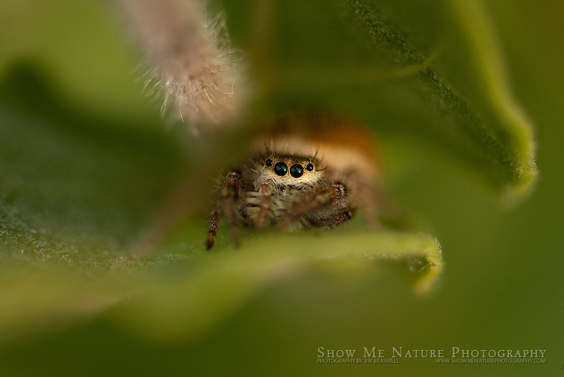 Small, jumping spider hides between the stems of a prairie wildflower.