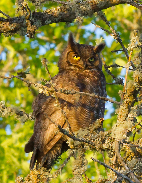 A Great Horned Owl (Bubo virginianus) is sitting on a tree branch with the setting sun shining on him and yellow eyes looking at viewer in the Ridgefield National Wildlife Refuge