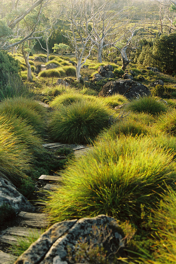 Tasmania's Overland Track runs between clumps of button grass (Gymnoschoenus sphaerocephalus) and into trees in the distance,  Cradle Mountain Lake St Clair National Park, Tasmania.