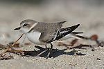 Snowy Plover, San Francisco Bay Area, Back small photo for 5x7 postcard