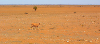 Starving sheep in arid landscape.<br /> <br /> Larger JPEG + TIFF images available by contacting use through our contact page at :..www.photography4business.com