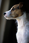 Jack Russell Terrier (Parson Terrier) Image Collection