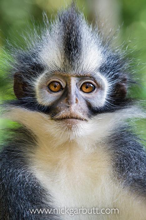 Thomas's Leaf Monkey (Presbytis thomasi) resting in forest canopy. Gunung Leseur National Park, Sumatra, Indonesia.