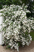 Philadelphus 'Manteau d'Hermine' bush shrub with double white flowers