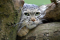 Manul or Pallas's Cat head (Otocolobus manul)