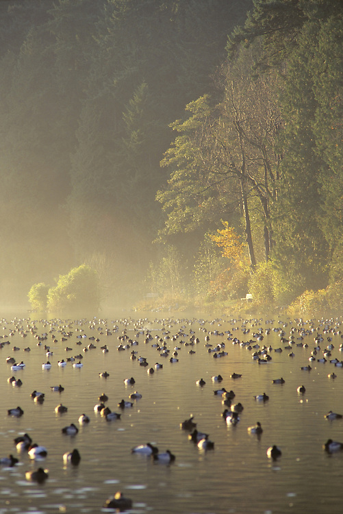 Ducks floating on Lost Lagoon in mist, during last rays of sunshine at twilight, in Fall, Stanley Park, Vancouver, BC.