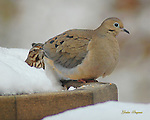 A Sparrow and a Mourning Dove share each others company on a snow-covered birdfeeder.