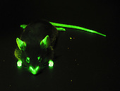 Fluorescence photograph of a mouse which has been genetically modified with green-fluorescent protein (GFP) attached to actin molecules.