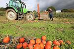 Foto: VidiPhoto<br /> <br /> GROESBEEK - De laatste pompoenen. Akkerbouwer Chris Poelen uit Groesbeek bij Nijmegen is dinsdag volop bezig met de oogst van zijn laatste pompoenen. Na deze week is de oogst van de 100.000 pompoenplanten op 8 ha. binnen. Ruim 70 procent van de pompoenen wordt aan huis verkocht of gaat naar restaurants. De rest wordt bewaard. Omdat het bedrijf van Poelen grenst aan Duitsland heeft hij veel Duitse klanten.