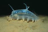 Deep-water Sea Cucumber (Scotoplanes), Family Holothuroidea, Monterey Canyon, California, USA.  **Editorial Use Only**