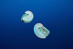 Chambered nautilus.Nautilus pompilius
