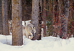 Grey Wolf stalking through the snow, Montana