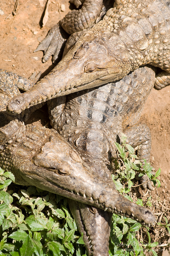 Kuranda, Queensland, Australia; Kuranda Koala Gardens, Freshwater Crocodile (Crocodylus johnstoni) , © Matthew Meier, matthewmeierphoto.com All Rights Reserved
