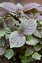 Purple-leaved red perilla (Perilla frutescens). It is also known as Japanese basil or purple mint, and is called shiso in Japan.