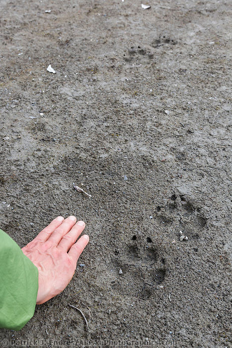 Wolf prints in the dirt, Arctic National Wildlife Refuge, Brooks Range, Arctic Alaska.