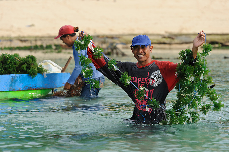 Seaweed farmers working on their 'farm', Kutuh, Bali, Indonesia.