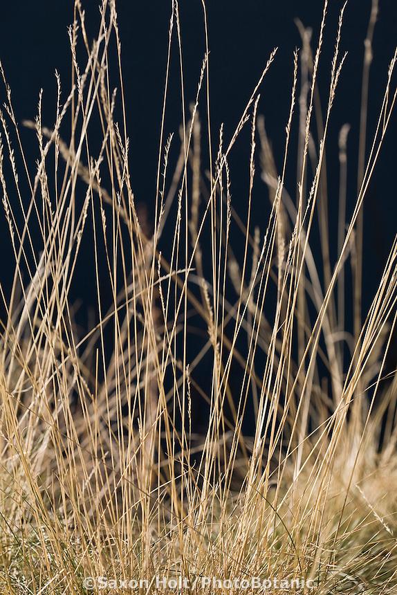 Rocky Mountain Fescue (Festuca saximontana) backlit flowering grass in meadow garden