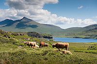 UK, Scotland,June 2012.Circumventing the stunning Island of Mull. Mostly very narrow roads with special passing places..Hardy longhaired highland cattle...Photo Kees Metselaar