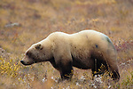Grizzly bear, Denali National Park, Alaska, USA