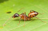 Carpenter Ant (Camponotus americanus), Ward Pound Ridge Reservation, Cross River, New York