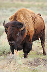 Bison, Young Male, Close Portrait, Lamar Valley, Yellowstone National Park, Wyoming