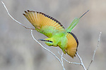 Central Africa green bee-eater (Merops orientalis)