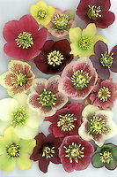 Helleborus x hybridus Mix of colors and types, mostly single. Yellow, yellow with spots, red, pink with spots, white, white with spots, green