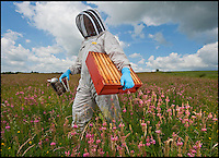 BNPS.co.uk (01202) 558833<br /> Picture: PhilYeomans/BNPS.<br /> <br /> Long hot summer a boost for the bee man of Salisbury Plain.<br /> <br /> One of Britains last wilderness area's is a hive of activity this summer as an army of busy bees swarm across Salisbury plain in Wiltshire.<br /> <br /> Major Chris Wilkes commands an astonishing 8 million bees in 150 hives dotted across the unique enviroment of the plain. The chalkland host's an amazingly wide range of rare wildflowers as 60,000 acres of SSSI have never been treated with modern pesticides.<br /> <br /> The wet winter and dry spring have produced perfect conditions for the diverse flora of the grasslands, with the isolation of the plain creating a cornucopia of the top nectar flowers in the UK  producing a honey with the distinctive flavour of one of Britains last wilderness areas.