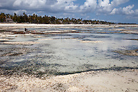 Jambiani, Zanzibar, Tanzania.  Upright poles mark rows of seaweed, cultivated by village women to earn a small amount of cash.  It will be dried and exported to Asia.  The plots can only be accessed at low tide on the eastern side of the island.