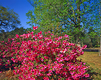 Spring Azalea Blooms in Morning Light,  Gulf Islands National Seashore, Gulf of Mexico, Mississippi