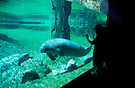 Florida, Tampa: Manatees at Lowry Park Zoo. Endangered species. flmana103...Photo copyright Lee Foster, 510/549-2202, lee@fostertravel.com, www.fostertravel.com